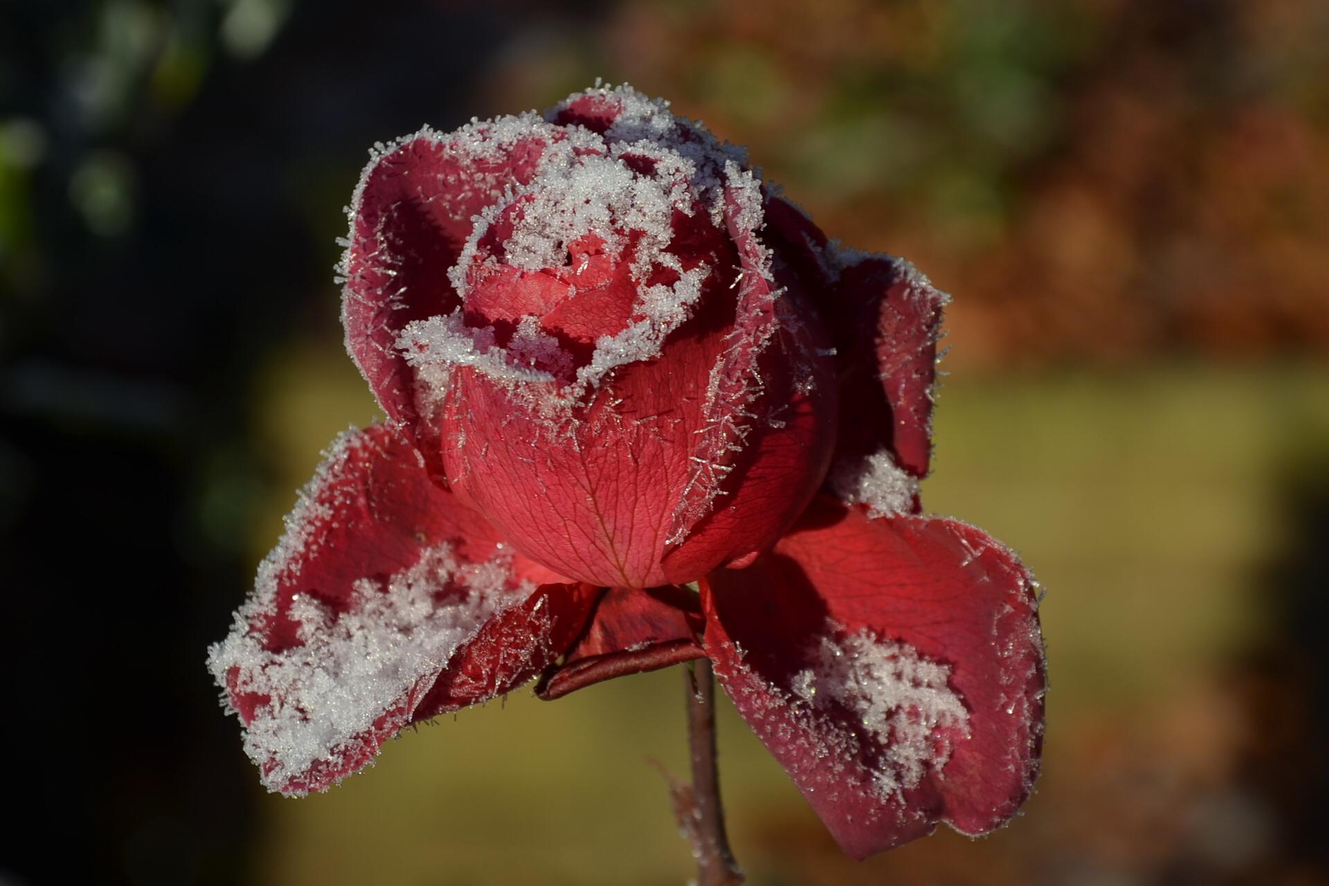 Wann Sollten Sie Ihre Rosen Schneiden?