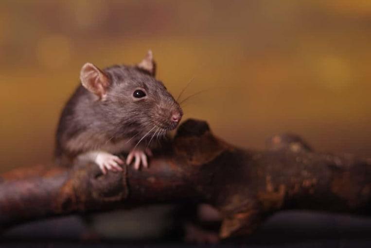 Ratten Im Garten Tipps Tricks